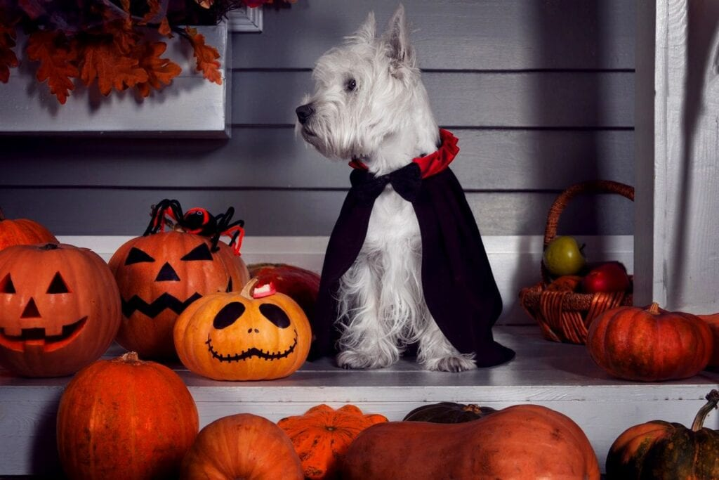 halloween pumkins and dogs
